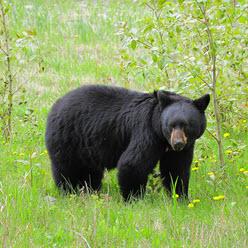Rawr War Bear